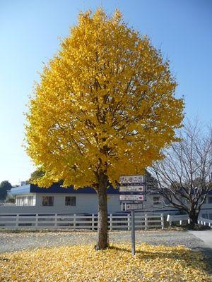大きな銀杏の木の・・・