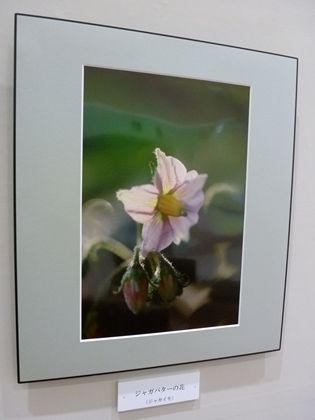 ジャガバターの花